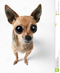 chihuahua w big eyes
