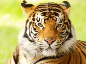 Daily Growl Tiger